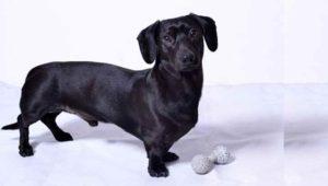 Черная такса – это одна из множества пород собак, которые имеют невероятный заряд энергии и безграничную любовь к своей семье.