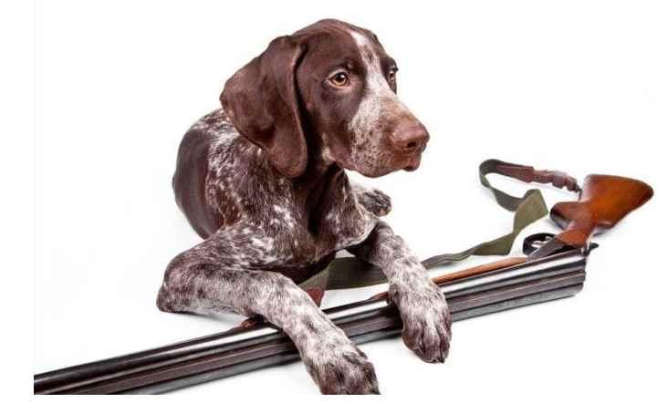 Гончие - эти собаки находят дичь и следят за ней
