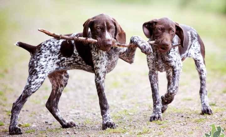 С детьми собаки породы курцхаар уживаются хорошо