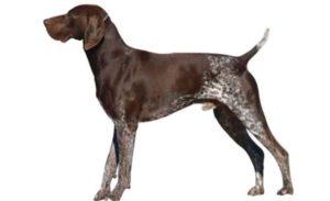 Изначально порода создавалась для охоты, на сегодняшний день чаще ее заводят для роли компаньона.