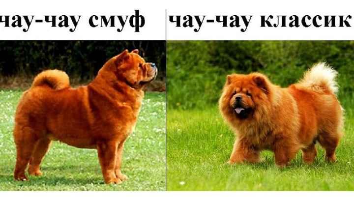 Фишка, и самая отличительная черта чау-чау – это синий язык. Несмотря на то, что чем синее язык у собаки, тем лучше, щенки данной породы рождаются с розовым языком, небом и деснами.