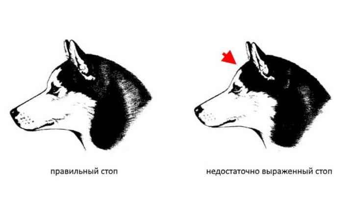 На морду собак хаски лучше посмотреть в картинках