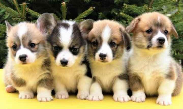 Если вы покупаете щенка просто как питомца в семью
