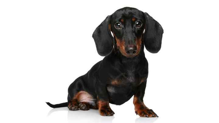 Высота взрослой собаки от 35см, вес не более 9 кг