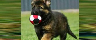 Овчарки являются очень умными и эмоционально развитыми собаками