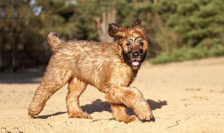 Порода собак бриар выводилась как самостоятельная пастушья порода