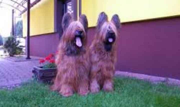 Самой главной отличительной чертой собак породы бриар является их длинная упругая шерсть