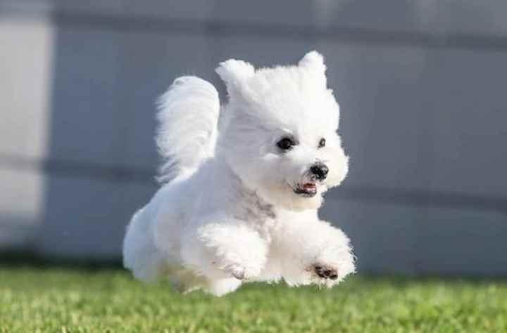Собаки этой породы внешне походи на игрушечных из-за глазок-пуговок и белой кудрявой шерсти. Эта милая белая собака имеет высоту в холке не более 30 см и массу тела до 3 кг, поэтому подходят для содержания в квартирах любого размера.