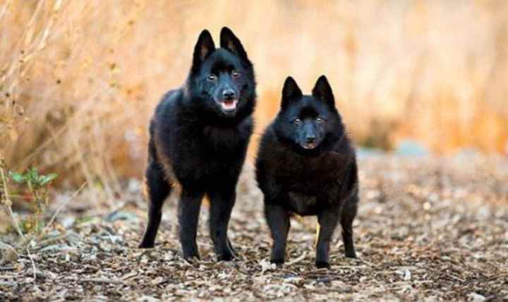 Пара черных собак