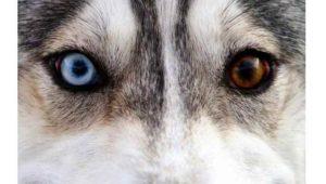 Особое место среди красавцев – хаски занимают собаки данной породы имеющие глаза разного цвета.