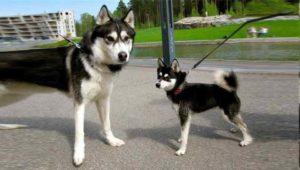 Учеными давно доказано, что предками домашних собак являются волки.