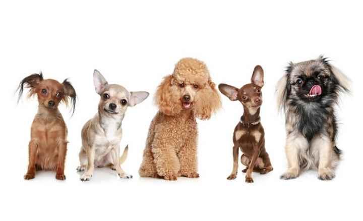 Собаки массой до 2 кг и высотой менее 28 см