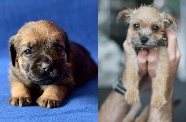 Цена щенка с родословной варьируется от 35 до 45 тысяч рублей.