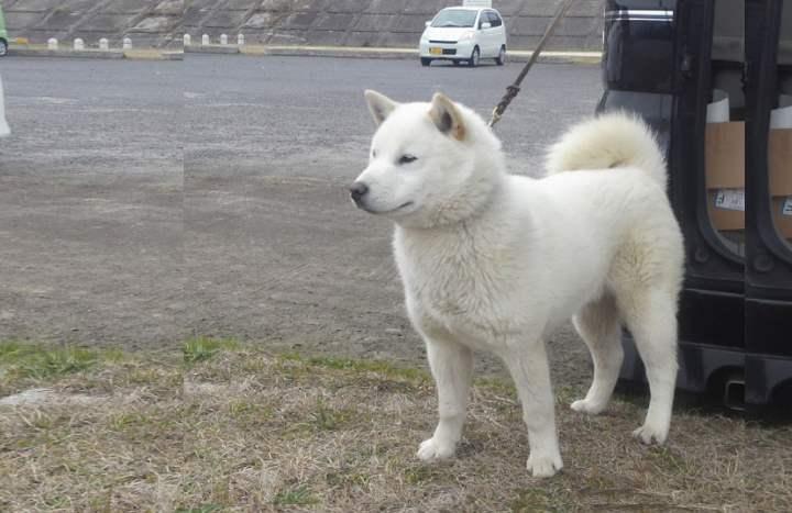 Несмотря на внешнюю строгость и стойкость, внутри эти собаки очень нежные и ранимые, сильно привязанные к своему хозяину.