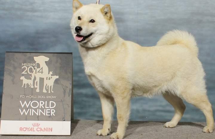 Рост у этих собак около 50см, а вес не превышает 30кг.