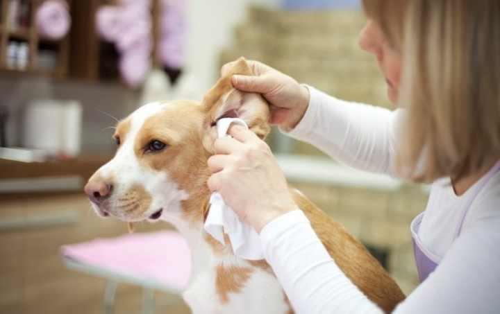 Короткошерстным собакам уши чистят редко