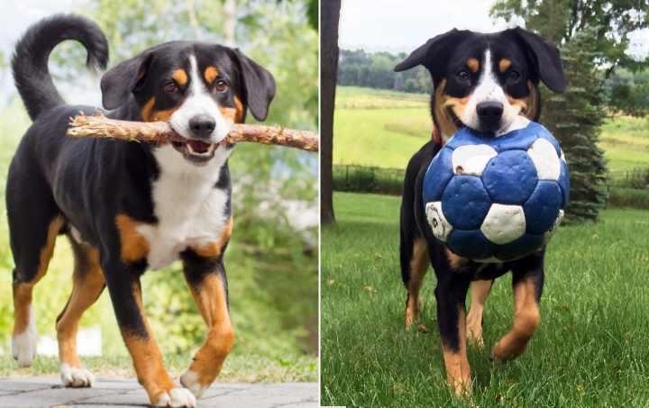 Порода собак возникла в Швейцарии