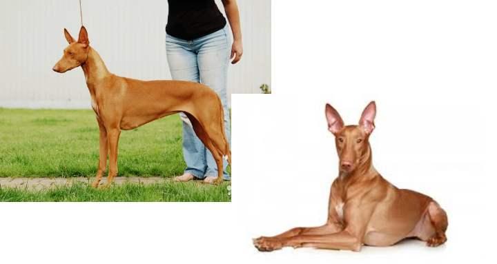 Одна из самых редких и дорогих пород собак с длинной мордой