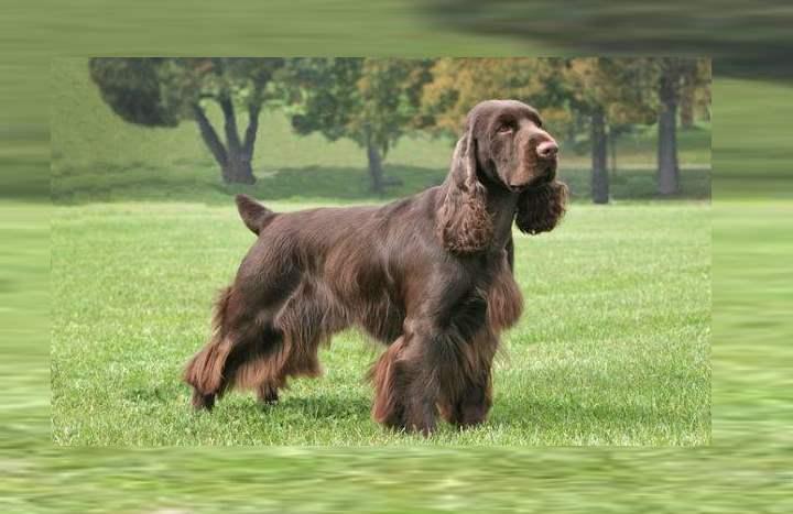 Собака имеет выставочную походку и ровную, природную осанку.