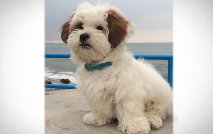 По стандартам передняя часть собаки должна быть белоснежной