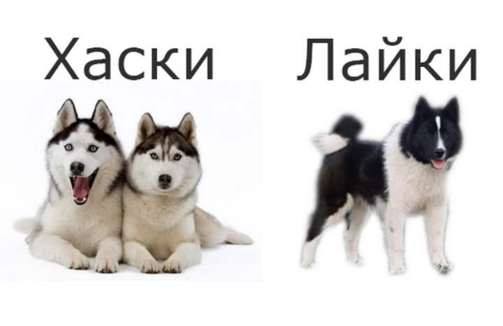 Хаски – это порода собак, используемая ранее как ездовая.