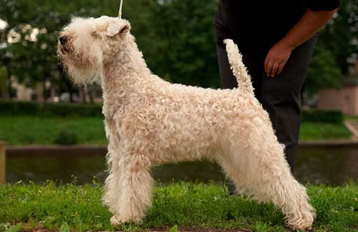 Существует легенда, что эта порода собак обладает целительными свойствами.