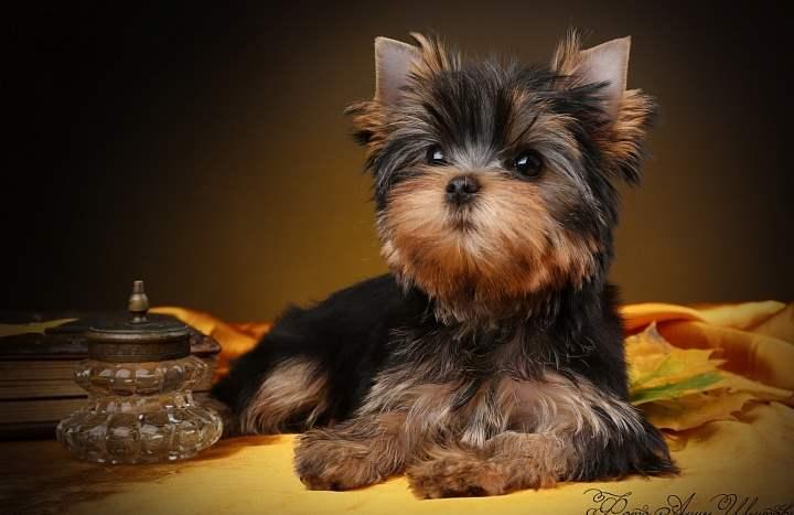 Шерсть у йорков очень напоминает человеческий волос, поэтому, данная порода собак будет безвредна для аллергиков.