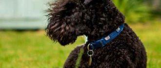 собачью особенность и опишем некоторые породы бородатых собак.
