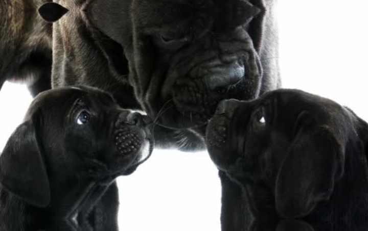 В Россию трех щенков итальянских мастифов завезли в 1994 году