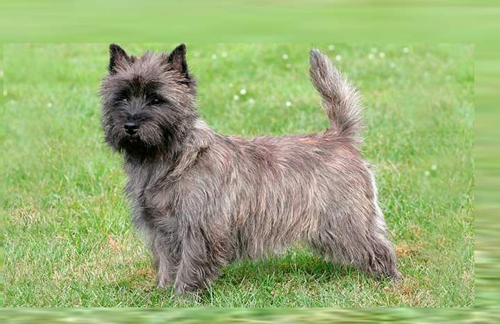 Собаки отличаются отличной выдержкой и выносливостью.