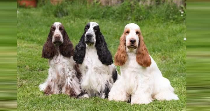 Разделены эти собачьи братья только лишь по размерным соображениям
