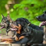 В статье рассмотрим наиболее популярные немецкие породы собак.