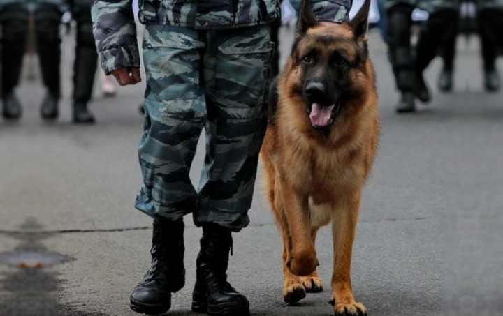 Сторожевые собаки имеют врождённые охранные качества
