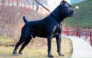 Порода собак итальянский мастиф является настоящей гордостью страны