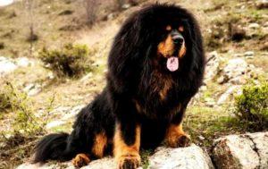 Собаки этой породы очень величественны