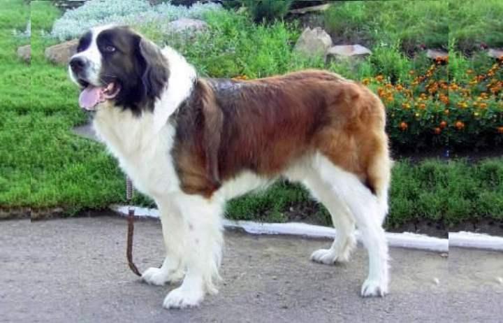 Эта порода была выведена путем многократного сношения собак различных пород