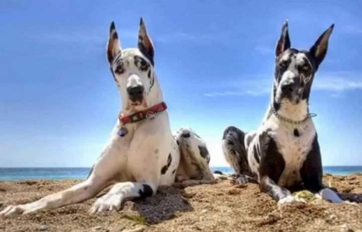 Большие собаки, имеющие рост от 72 см. выглядят очень мощно и солидно.