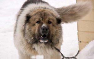 Собаки должны быть умны, иметь жёсткий характер