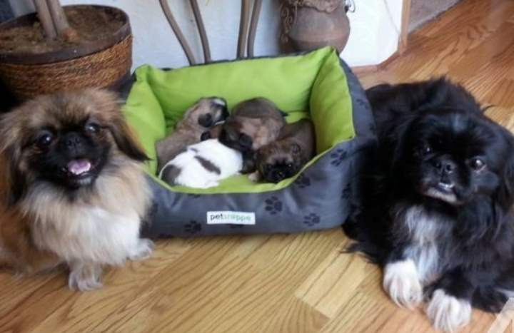 Собаке во время родов требуется помощь