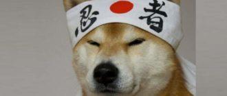 Эти собаки отличаются своенравным характером, отражающий немного японский, не привычный для нас, менталитет.
