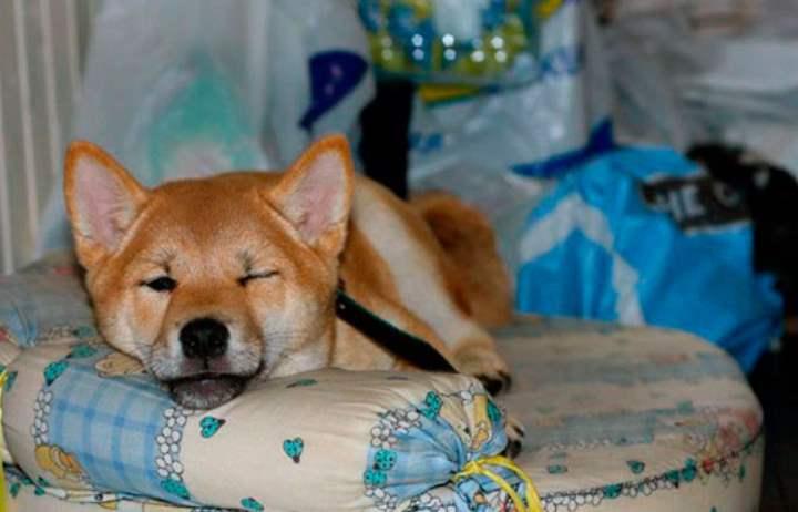Японская порода собак сиба ину была известна еще более двух тысяч лет назад.