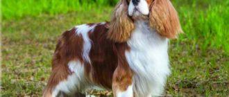Порода собак кавалер кинг спаниель обладает высоким интеллектом