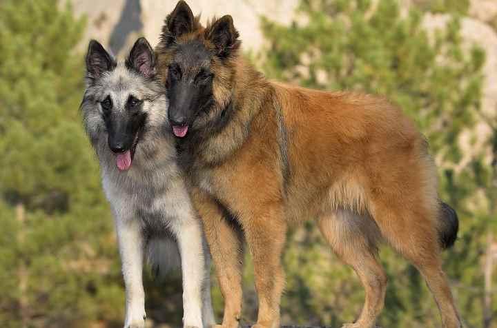 Собака похожа на волка