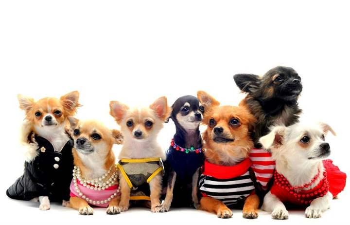 Для квартиры и неопытных владельцев больше подходят собаки маленьких и средних пород