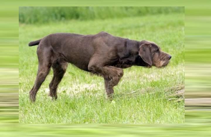 Данная порода собак была выведена в Германии, и относится к категории достаточно крупных собак.