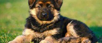 Сколько стоит щенок немецкой овчарки
