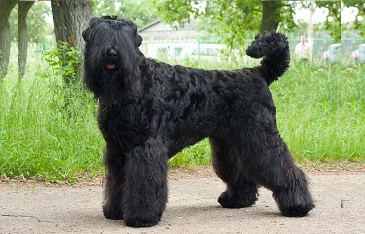 Еще один представитель сторожевой собаки, имеющей русские корни.