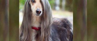 Длинношерстные собаки линяют