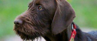Разберем наиболее яркие породы собак, имеющих коричневую шерсть.