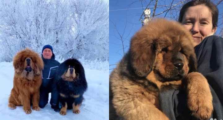 Самая большая плюшевая собака в мире это тибетский мастиф